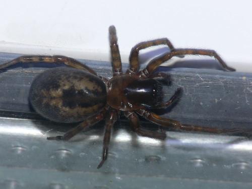 Window spider (amaurobius fenestralis)