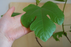 /~But you can have the fig tree and its fat leaves like clown hands/gloved with green.~/ (94/365.2)