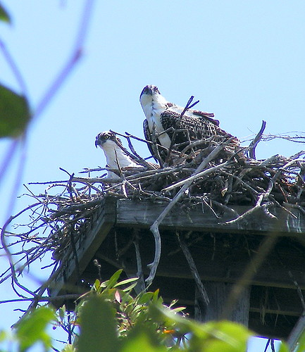 Young Ospreys