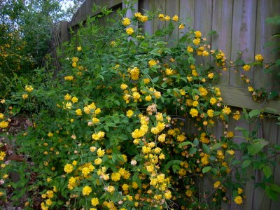 Kerria japonica or Japanese Yellow Rose