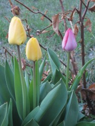 Three tulips blooming in our garden