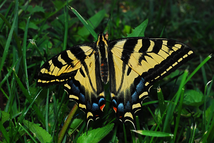 Western Tiger Swallowtail-Male