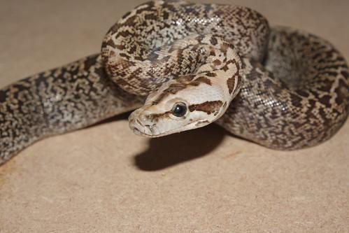 burmese python bite