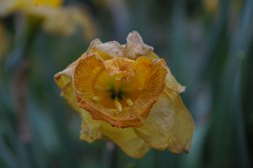dead daffodils in the garden
