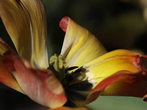 Tulip - Unfurl