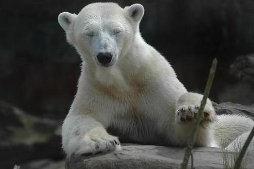 Eisbär Freedom im Ouwehands Dierenpark Rhenen