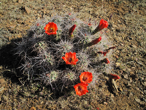 Mojave Mound Cactus by you.