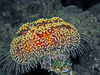 Toxic Leather Sea Urchin - Asthenosoma marisrubri by divemecressi