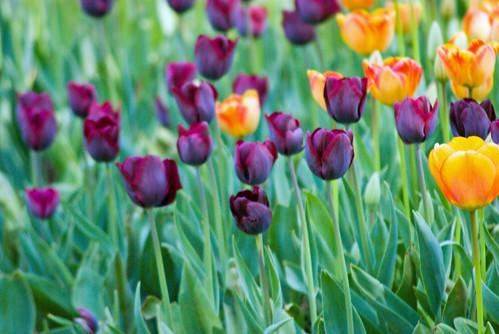black tulips and orange tulips, Istanbul Tulip Festival, Pentax 10d, İstanbul