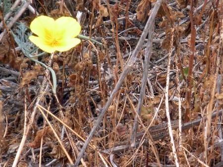 Hidden amongst the California Poppy