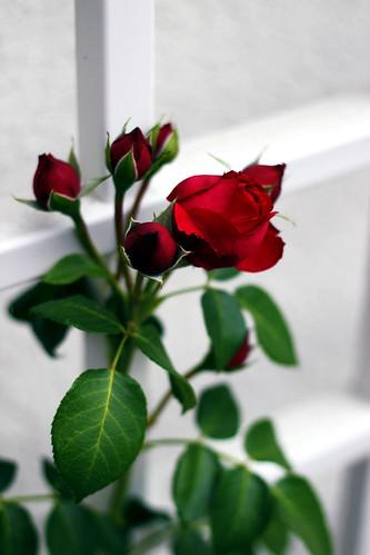 Red-Rose-Buds