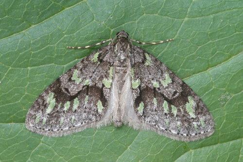 7637 - Cladara limitaria - Mottled Gray Carpet (5)