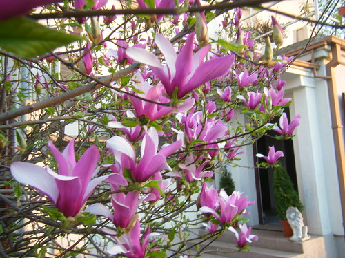 The Tulip Magnolia