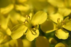 brocoli rabe at its prettiest