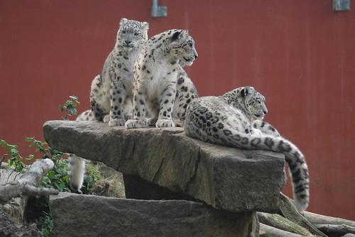 Schneeleopardin Yahya mit ihrem Nachwuchs  Him und Alaya im Zooparc de Trégomeur