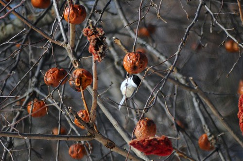 Chickadee and Apples