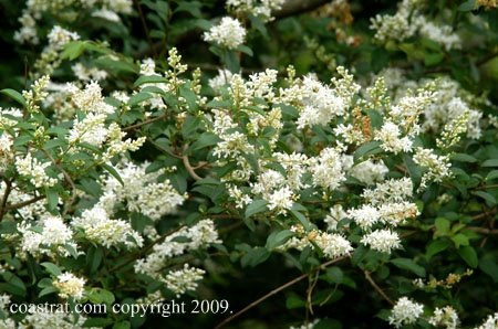 DSC_0822ABCD-WhiteFlowers