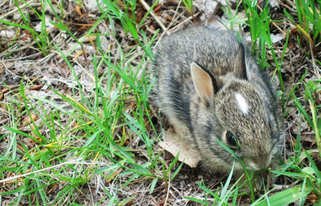 Chatfield Bunny