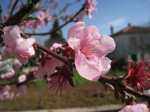 Peach flower...