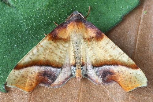 6842 - Plagodis phlogosaria - Straight-lined Plagodis (2)