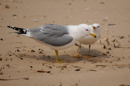 Ring-billed Gull 75