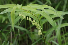 四季の森公園のナルコユリ(Lilly at Shikinomori Park, Japan)