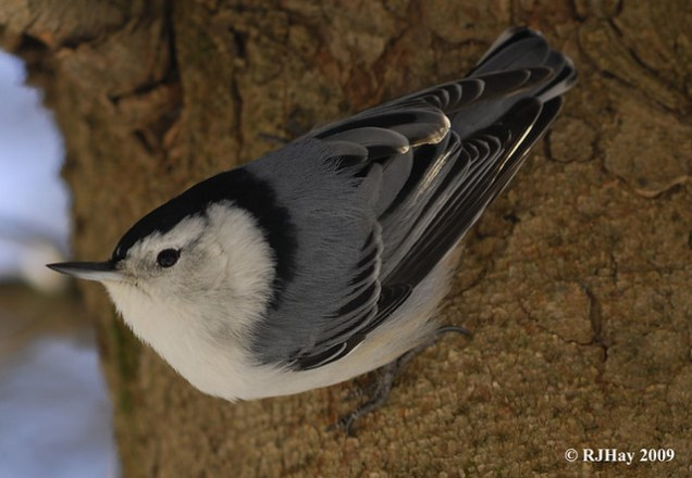 It's Wednesday - Good Morning World!  Post #1- White-Breasted Nuthatch