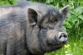Villeneuve le Roi. Ferme du Parc des Meuniers. Porc noir de Bigorre.