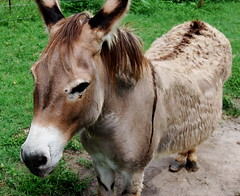 Jack the donkey- I love his little feet