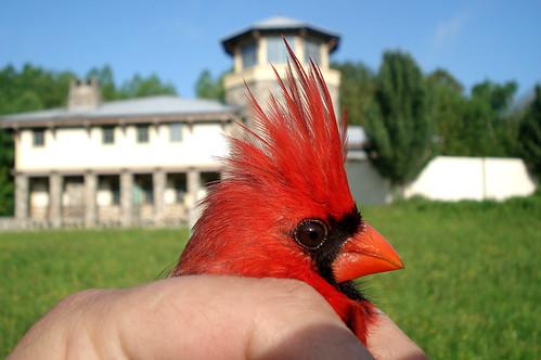 Northern Cardinal at RTPI