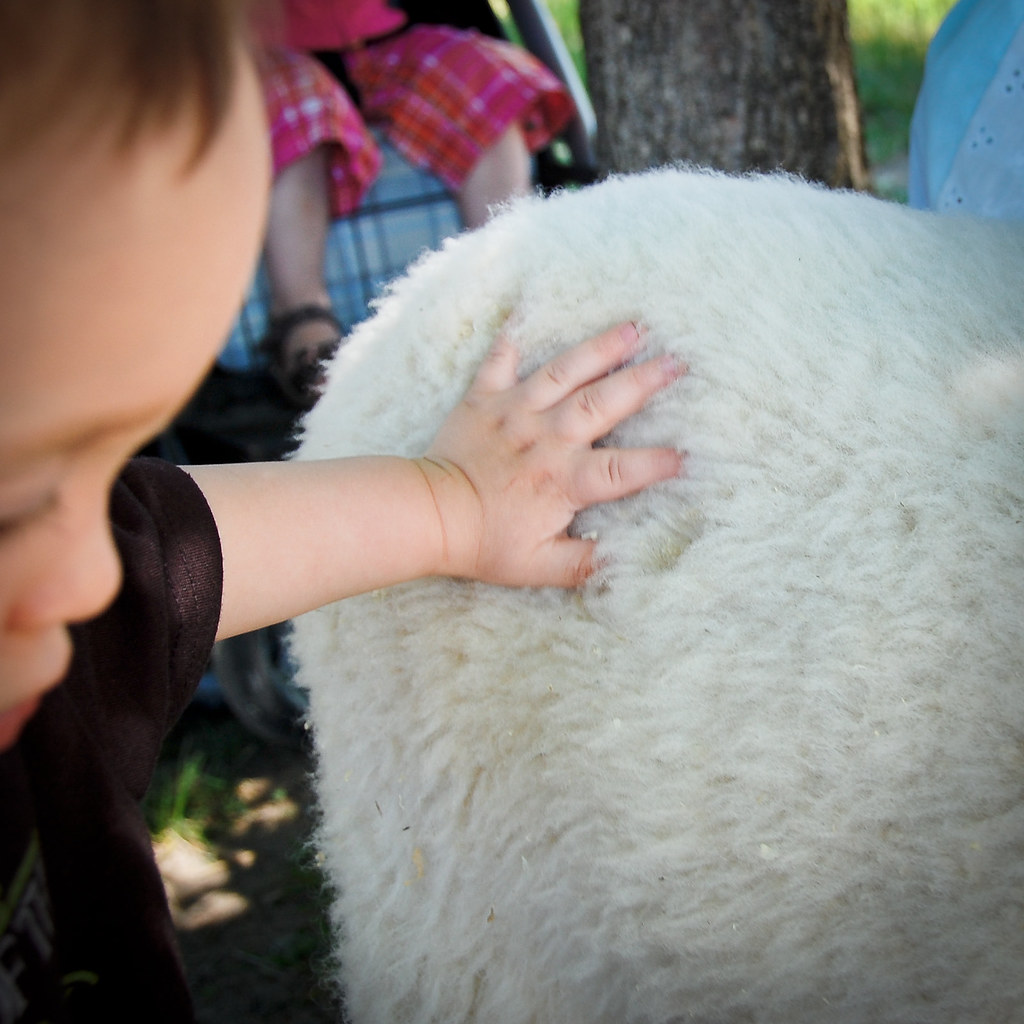 sheep shearing-32
