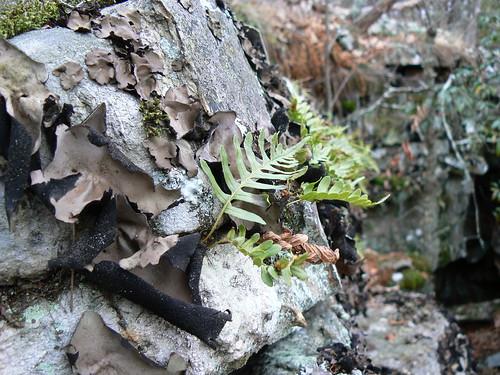 Bear Cliffs - Lichen and Fern Frond