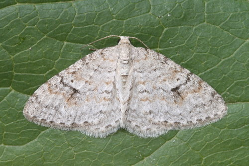 7428 - Venusia comptaria - Brown-shaded Carpet (2)