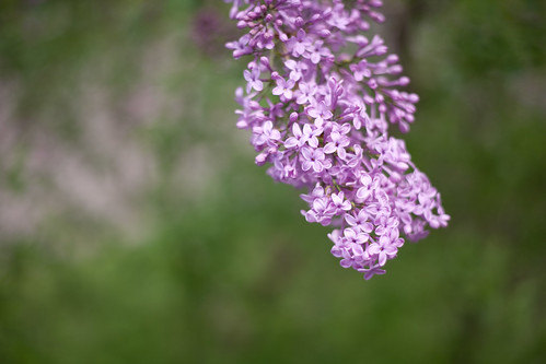 Lilac Bloomed