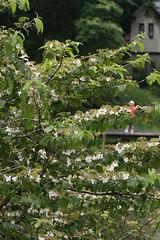 四季の森公園のヤブデマリ(Shikinomori Park, Japan)