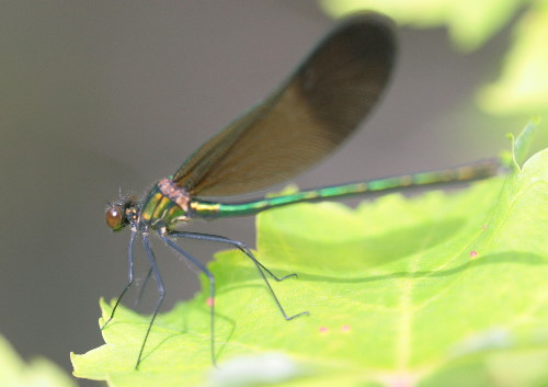 River Jewelwing, Calopteryx aequabilis