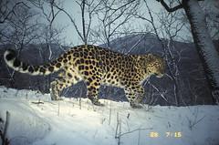 Narva, female Amur leopard