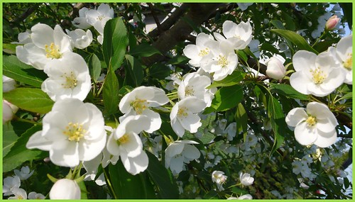 Apple blossoms in my back yard.