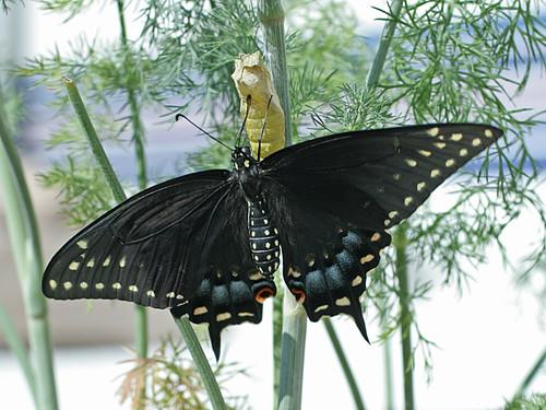 Papilio-Polynexes