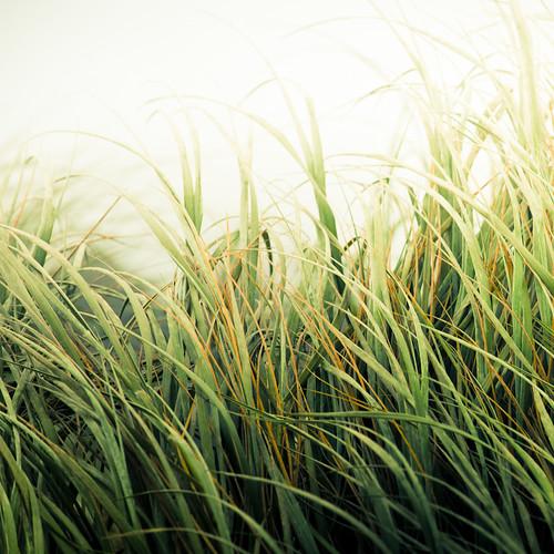 Beach Grass Texture por ►CubaGallery