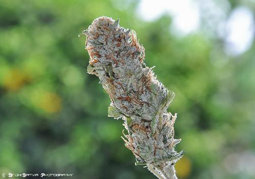 HR Medical Marijuana- SUPER OG KUSH by BodhiSativa Photography