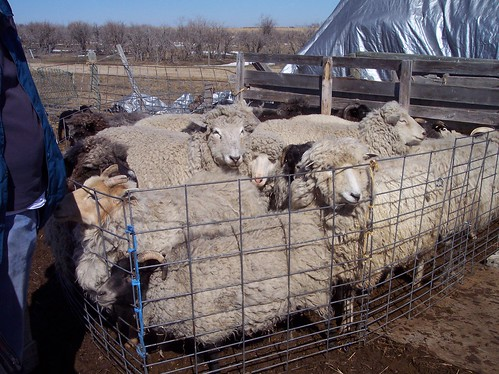 Shearing Days, April 11, 2009