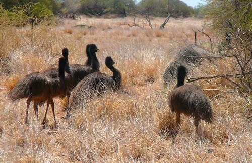 Emu alert