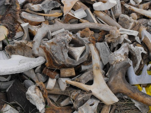 Pile of discarded antlers in Whitehorse, Yukon, by KokoSnaps