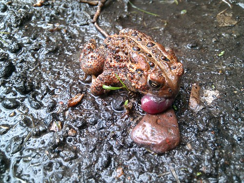 Photo of a small toad with a very swollen tongue.