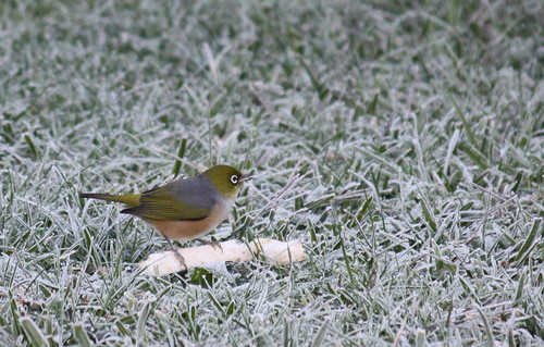 Waxeye in the frost