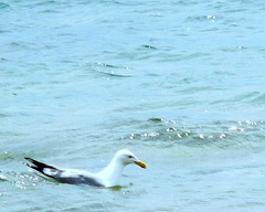 Seagull on Lake Huron