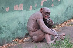 Hairless Chimpanzee