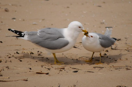 Ring-billed Gull 85