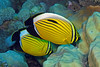 Polyp Butterflyfish - Chaetodon austriacus by divemecressi